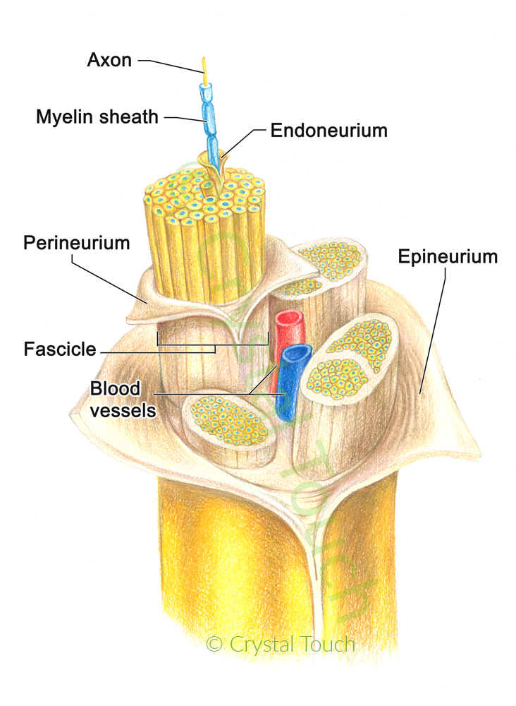 Structure of a nerve