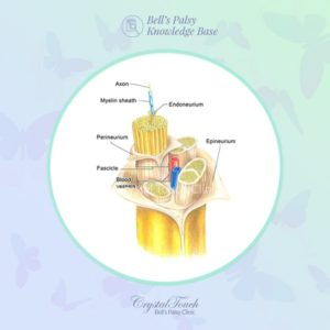 The structure and function of the facial nerve