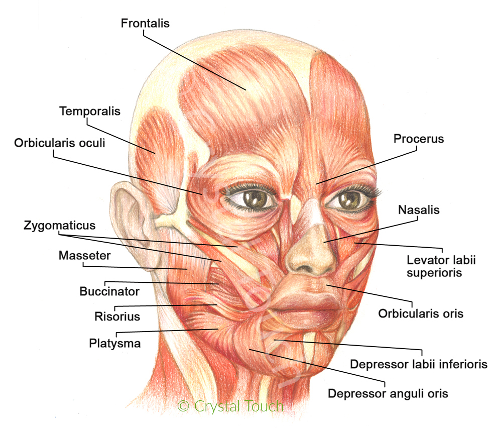 Muscles of facial expressions and how they work - Crystal ...