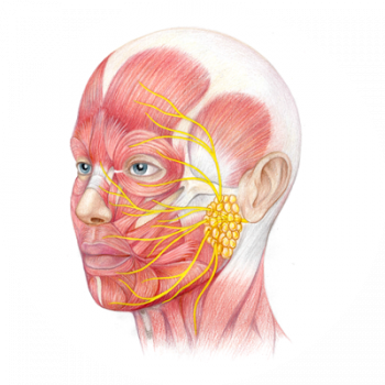 Facial Nerve - Bell's palsy