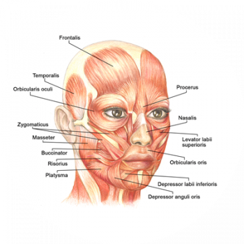 Macial Muscles - Bell's palsy