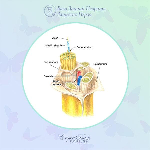 структура и функции лицевого нерва